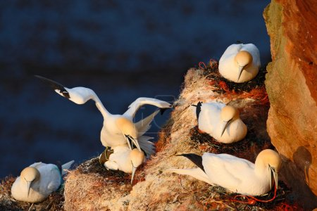 Photo pour Colony of Northern Gannets, seabirds on the coast rock, Beautiful birds in love, Pairs of animals on Helgoland Island, Germany, Wildlife scene with gannets from nature - image libre de droit