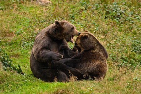Two brown bears in forest