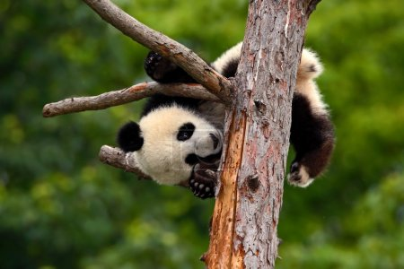 Panda Bear on tree