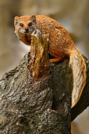 Yellow Mongoose sitting on trunk