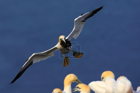 Photo pour Flying Northern gannet with nesting material in the bill, Bird in fly with dark blue sea water on the background, Flying bird from Helgoland island - image libre de droit