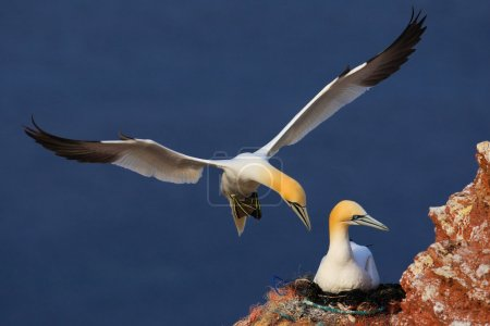 Photo pour Two Northern Gannets, Wildlife scene from nature, Sea birds on rock cliff, Beautiful birds in love - image libre de droit