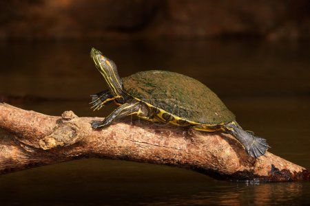 Red-eared slider sitting on trunk
