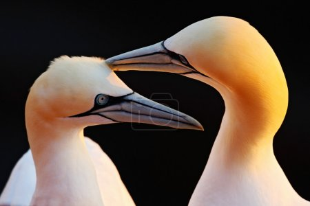 Photo pour Two Northern Gannets, beautiful birds in love, pair of animals in England, United Kingdom - image libre de droit
