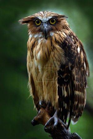 Sunda fishing owl sitting on branch