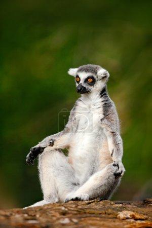 Ringtailed Lemur in nature habitat
