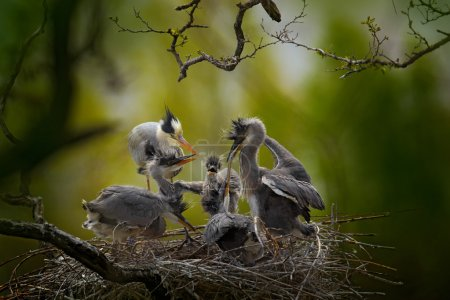 Grey herons in nest