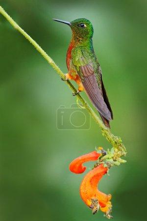 Photo pour Colibri à poitrine de châtaignier orange et verte dans la forêt, Boissonneaua matthewsii, Pérou nuages forêt - image libre de droit
