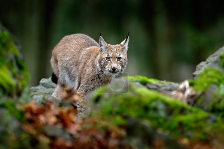 Lynx standing on stone