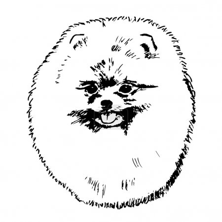 Graphic vector illustration of Zwergspitz Dog. Isolated Vector Dog Portrait.
