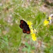 Постер, плакат: Beautifull brown black orange butterfly on flower