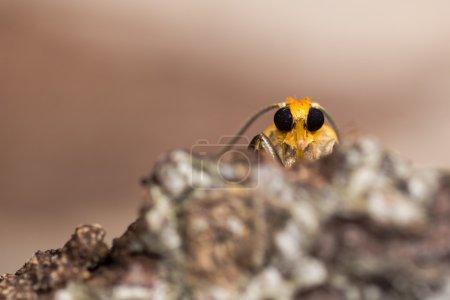 Orange footman moth (Eilema sororcula) head from below