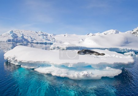 Leopard seal resting on ice floe