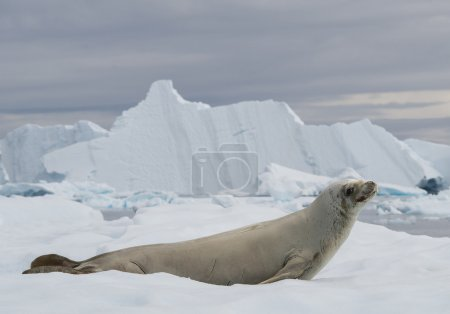 Crab eater seal resting on ice floe