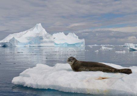 Leopard seal resting on ice floe