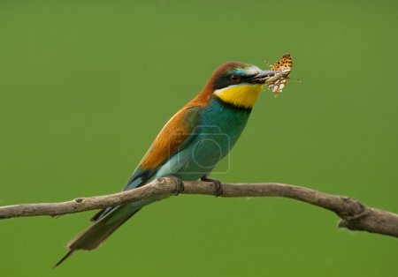 European bee eater with butterfly