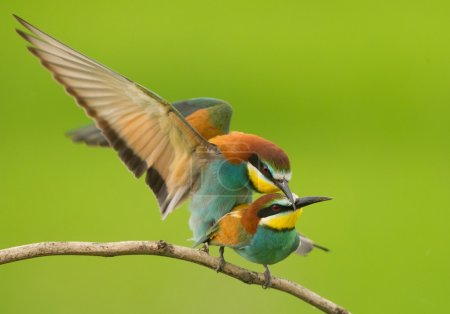 Pair of european bee eaters mating