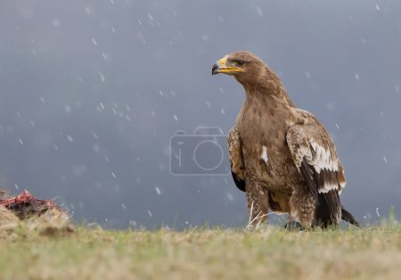 Steppe eagle approaching the prey