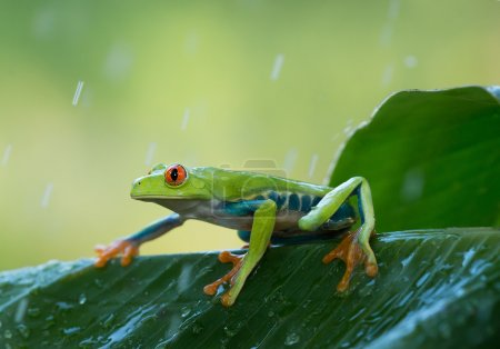 Red eye tree frog on the leaves