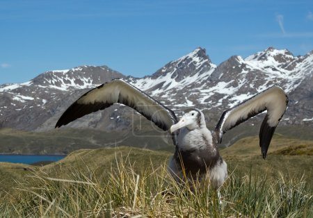 Young wandering albatross displaying