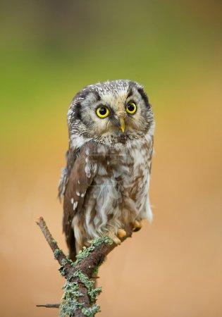 Boreal owl perching