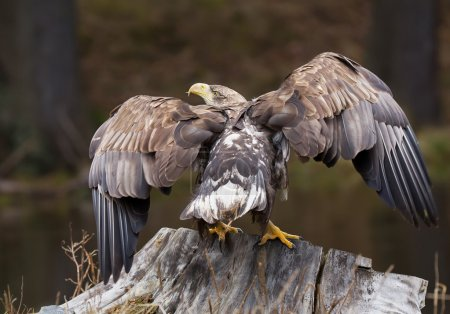 White tailed eagle perched on stump