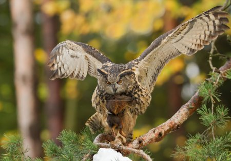 Eagle owl perching on the pine tree, with squirrel prey
