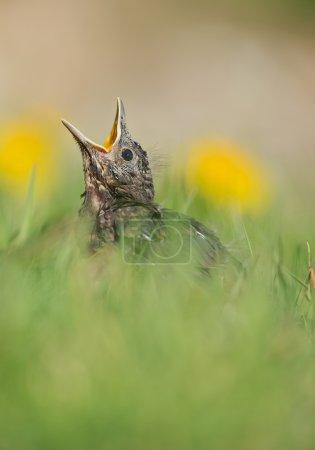 Photo pour Grand merle poussin dans l'herbe avec des fleurs jaunes, mendiant pour de la nourriture, avec un fond propre, République tchèque, Europe - image libre de droit