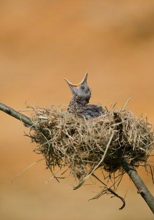 Common blackbird chick in the nest