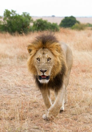 Male lion walking towards to the photographer