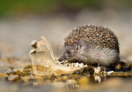 Photo pour Hérisson européen vérifiant vieux os de mâchoire d'animal, près de l'eau, arrière-plan propre, Slovaquie, Europe - image libre de droit