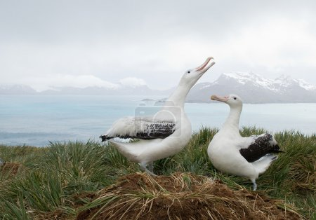Photo for Pair of wandering albatrosses on the nest, socializing, with snowy mountains and light blue ocean in the background, South Georgia Island, Antarctic - Royalty Free Image