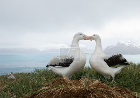 Photo for Pair of wandering albatrosses on the nest, socializing, with snowy mountains and light blue ocean in the background, South Georgia Island, Antarctica - Royalty Free Image