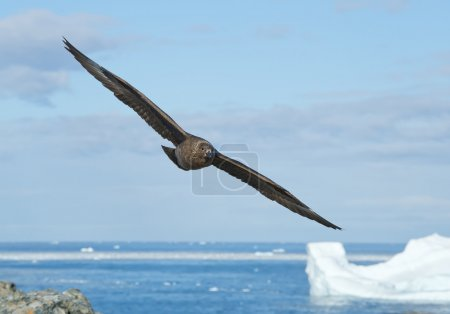 Antarctic skua in flight