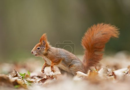 Photo pour Écureuil roux en fuite, fond propre, République tchèque, Europe - image libre de droit