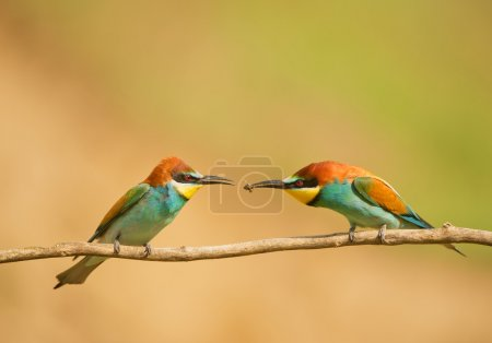 Male bee eater handing over insect