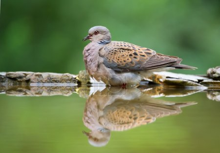 Photo for Turtle dove sitting on the rim of drinking pond, with reflection, clean background, Hungary, Europe - Royalty Free Image