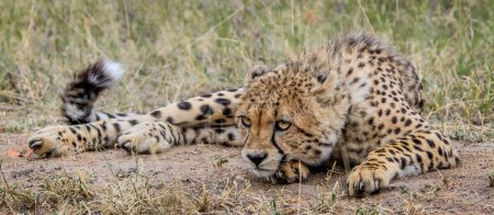 Cheetah laying down