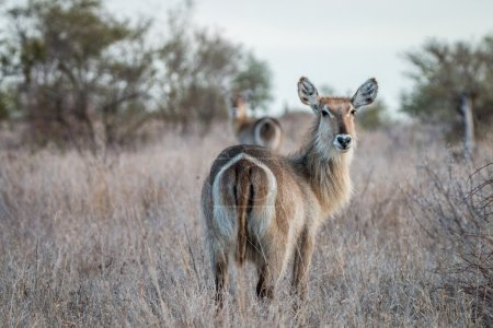 Starring Waterbucks in the Kruger
