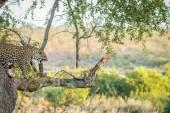 """Постер, картина, фотообои """"Леопард на дереве в национальном парке Крюгер."""""""
