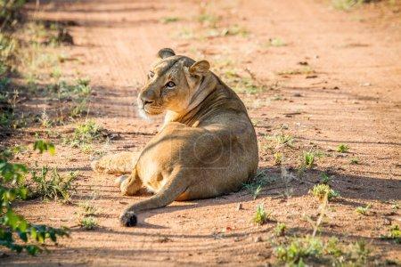 Photo pour Lionne allongée sur la route dans la réserve de chasse de Mkuze, Afrique du Sud . - image libre de droit