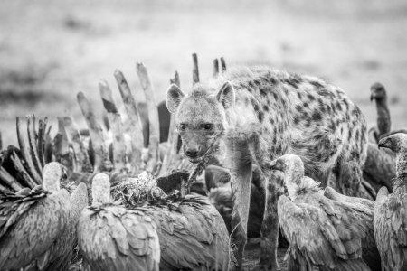 Photo pour Hyène repérée dans une carcasse avec vautours en noir et blanc dans la réserve de chasse Sabi Sabi, Afrique du Sud . - image libre de droit