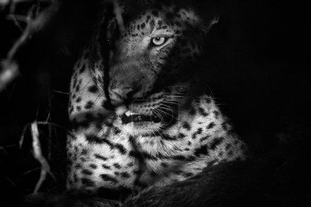 Photo pour Un léopard dans les buissons en noir et blanc dans le parc national Kruger, Afrique du Sud . - image libre de droit