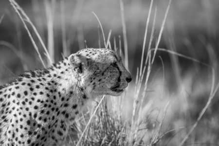 Photo for Side profile of a Cheetah in black and white in the Kruger National Park, South Africa. - Royalty Free Image