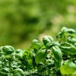 Close up of young basil plants. Shallow depth of f...