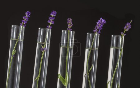 cosmetology lab - Flowers of lavender in test tubes