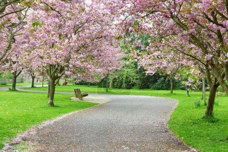 Foto de Vista de la primavera de un camino de bobina a través de cerezos en flor en un hermoso jardín de paisaje - Imagen libre de derechos