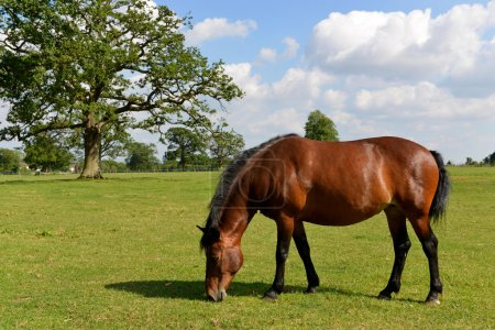 Chestnut Horse in a Green Meadow