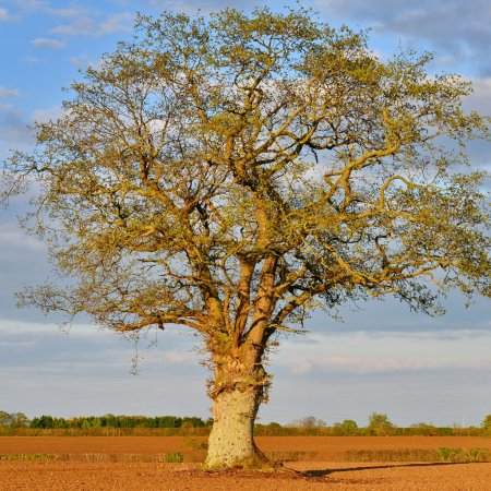 Oak Tree and Blue Sky Above