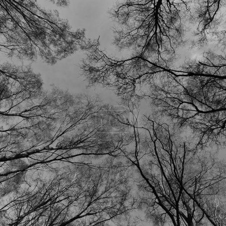 Looking-up into a Canopy of Tall Trees
